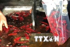 TP.HCM: Đầy xác gián, ruồi, cào cào... trong bể ngâm ớt muối