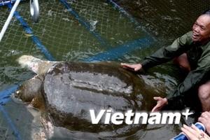 Mở rộng diện tích bể điều dưỡng cho Rùa Hồ Gươm