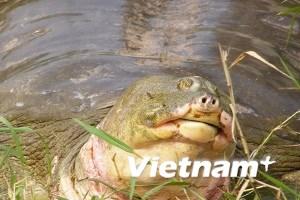 HN phân việc cho các sở, ngành cứu rùa hồ Gươm