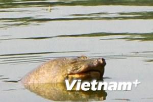 Hà Nội sẽ tiến hành bắt rùa hồ Gươm từ ngày mai