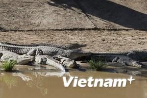 Cá sấu xổng chuồng