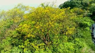 Đà Nẵng: Bán đảo Sơn Trà rực rỡ trong sắc hoa lim xẹt