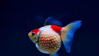 [Video] Nghệ thuật nuôi cá vàng nức tiếng ở Phúc Kiến của Trung Quốc