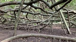 [Video] Kỳ lạ giàn Gừa khổng lồ trăm tuổi ở miền Tây sông nước