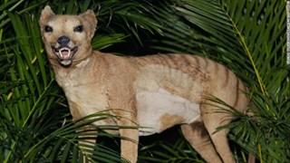 [Video] Hổ Tasmanian được cho đã tuyệt chủng xuất hiện trở lại