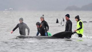 [Video] Australia nỗ lực cứu hộ hàng trăm cá voi mắc cạn