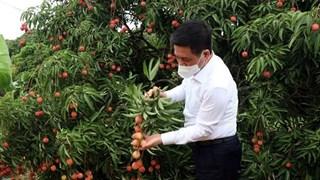 [Video] Xuất khẩu những tấn vải thiều đầu tiên đi Nhật Bản, Singapore