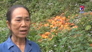Hà Giang: Cam sành rụng ngập vườn, tiêu tan công sức của nông dân