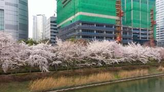 [Video] Hàn Quốc: Lộng lẫy hoa anh đào nở ven hồ Seokchon