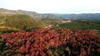 Vụ hàng ngàn cây thông bị hạ độc: Khởi tố vụ án hủy hoại tài sản