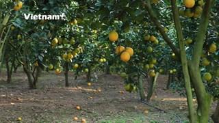 [Video] Những ''Mặt Trời nhỏ'' toả nắng giữa núi đồi Lục Ngạn