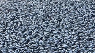 Cận cảnh hàng nghìn con cá chép chết khô trên mặt hồ ở Australia