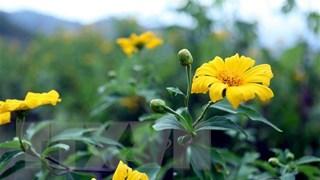 [Video] Hàng nghìn bông hoa dã quỳ nở rộ trên núi Ba Vì