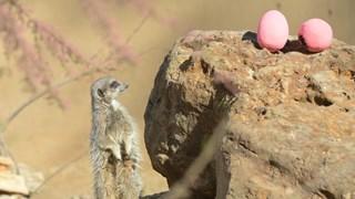 [Video] Sở thú ở London cùng các loài vật chào đón Lễ Phục sinh