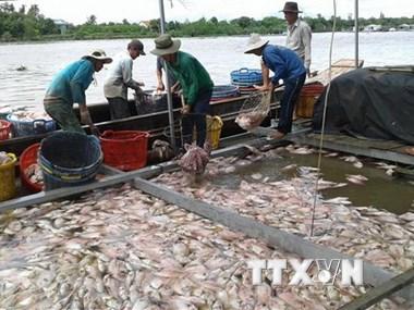 Trên 160 tấn cá bè chết chưa rõ nguyên nhân tại Tiền Giang