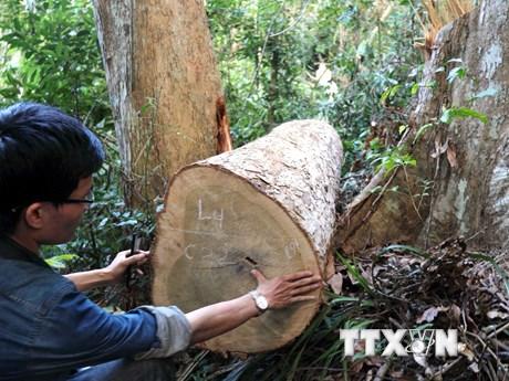 [Photo] Hiện trường vụ phá rừng phòng hộ quy mô lớn ở Bình Định