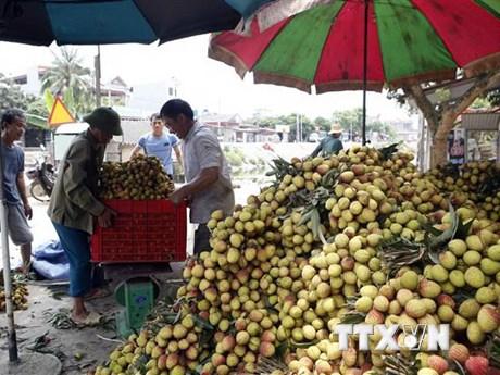 Hưng Yên: Huyện Phù Cừ xuất khẩu vải chín sớm sang Đông Âu