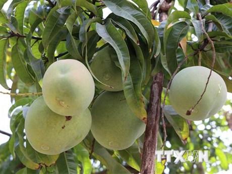 Mở đường cho trái xoài Việt Nam xuất khẩu vào thị trường Mỹ | Thị trường | Vietnam+ (VietnamPlus)