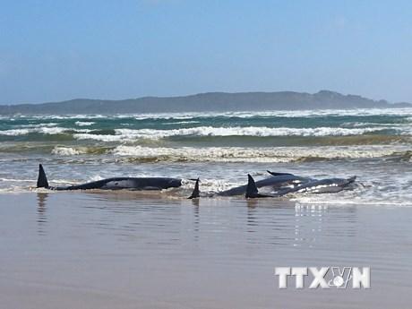 Số cá voi chết trong vụ mắc cạn ngoài khơi Australia tăng lên 90