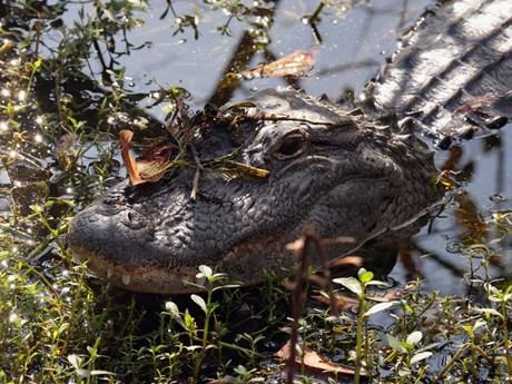 Bị cá sấu cắn trúng đầu khi đang lặn tìm hóa thạch cá mập