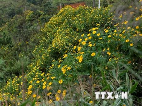 Hình ảnh hoa dã quỳ nhuộm vàng óng núi rừng Tây Bắc