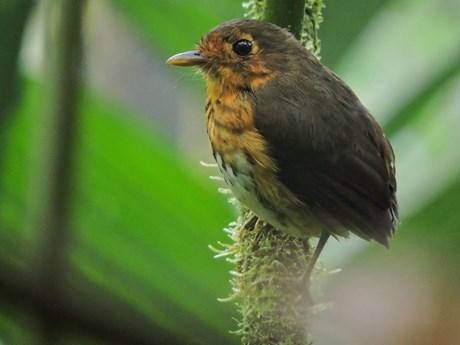 Phát hiện một loài chim mới ''siêu nhút nhát'' tại Colombia