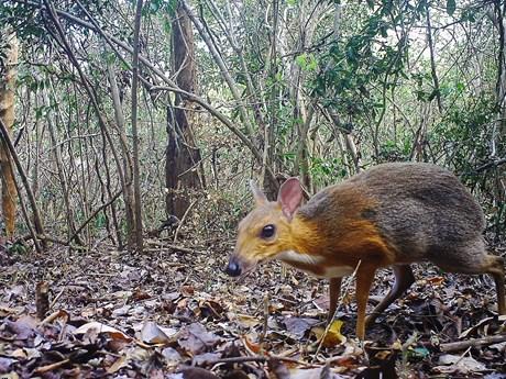 Cận cảnh loài hươu chuột quý hiếm mới xuất hiện trở lại tại Việt Nam | Môi trường | Vietnam+ (VietnamPlus)