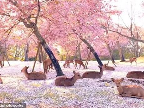 Đàn hươu nằm giữa rừng hoa, cảnh đẹp hiếm có trong mùa COVID-19 | Chuyện lạ | Vietnam+ (VietnamPlus)