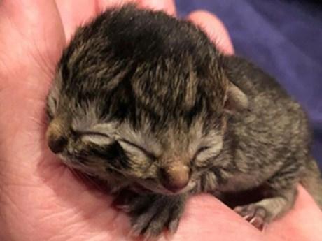 Chú mèo con kỳ lạ mang hai gương mặt chào đời tại Mỹ