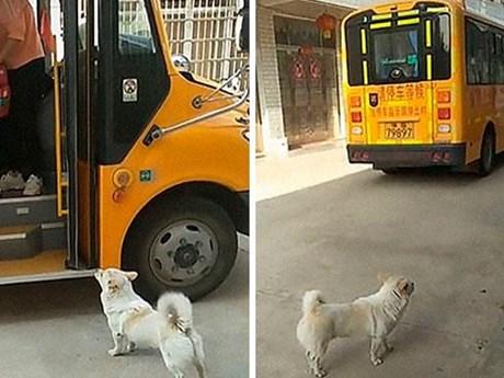Chú chó nhỏ cần mẫn đưa đón cô chủ đi học khiến người xem xúc động   Chuyện lạ   Vietnam+ (VietnamPlus)