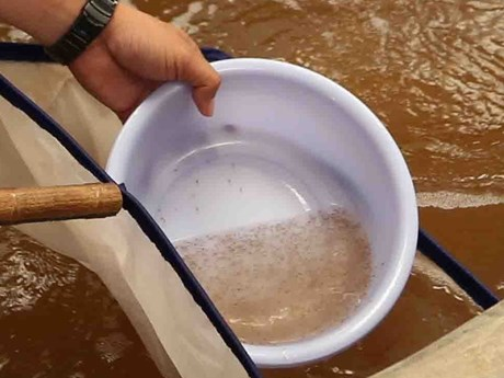Tiêu hủy lượng lớn tôm giống không rõ nguồn gốc tại Phú Yên