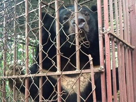 """Tổ chức Động vật Châu Á mở chiến dịch """"cứu"""" gấu ở Quảng Ninh"""