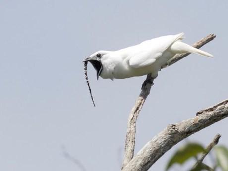 Loài chim nhỏ xíu có tiếng kêu khiến con người hỏng thính giác
