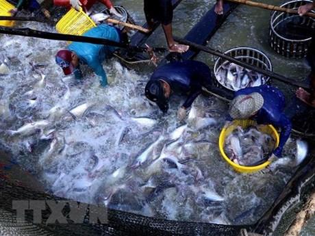 Ngành hàng cá tra Việt Nam hướng tới phát triển bền vững