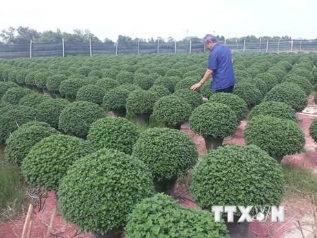 Bình Định: Nông dân các làng trồng hoa tích cực chuẩn bị vụ Tết