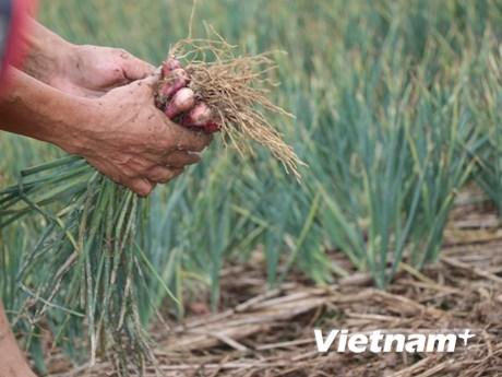[Photo]: Người dân xã An Phụ được mùa sản xuất hành năm 2019