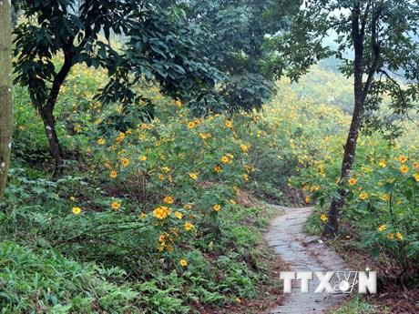 [Photo] Đến Ba Vì, ngắm hoa dã quỳ đang đến độ bung sắc