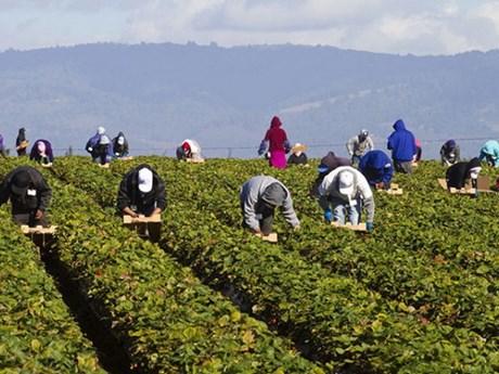 Ngành nông nghiệp Canada gặp khó khăn trong tuyển lao động tạm thời