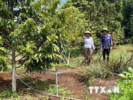 Mùa khô ở Nam Trung Bộ kéo dài, cần phòng trừ sâu bệnh cho cây ăn quả