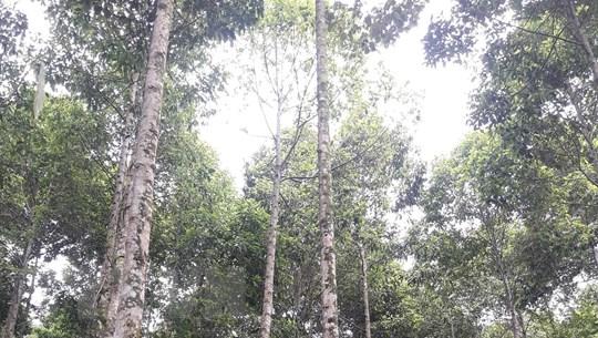 TT-Huế đẩy mạnh trồng rừng gỗ lớn phát triển kinh tế hộ gia đình