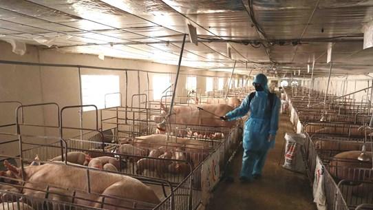 Giá lợn hơi giảm mạnh, vì sao thịt lợn tại các chợ vẫn đắt?