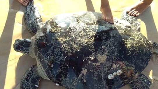 Tỉnh Quảng Trị nỗ lực cứu hộ và bảo tồn các loài rùa biển quý hiếm
