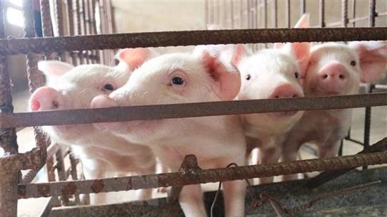 Đàn lợn của Bình Phước tăng 50% so với thời điểm trước dịch