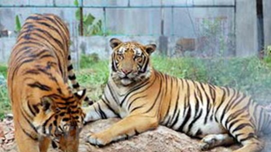 Không quy chuẩn nuôi nhốt, hổ đi về đâu?
