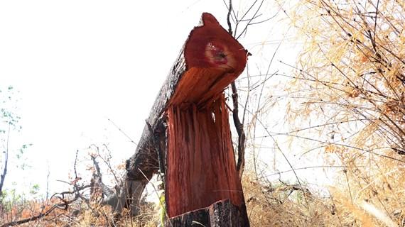 Hàng chục hécta rừng bị chặt phá, lấn chiếm sang nhượng trái phép