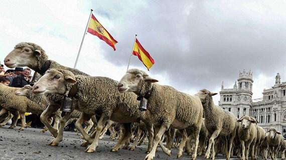 Độc đáo màn 'diễu hành' của đàn gia súc tại thủ đô Madrid