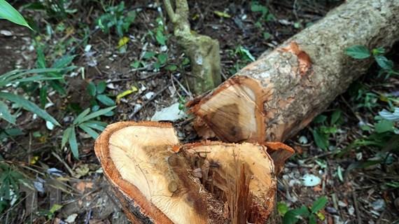 Lâm tặc ngang nhiên phá rừng phòng hộ, chặt hạ hàng chục cây cổ thụ