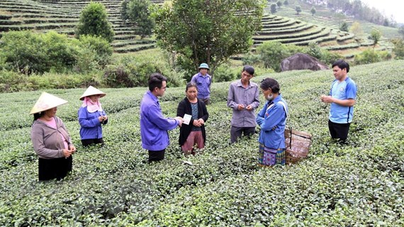 Lai Châu: Chú trọng xây vùng nguyên liệu chè sạch cho xuất khẩu