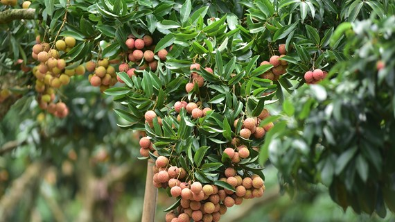 Nâng tầm nông sản Việt từ chiến lược mang tên 'Vải thiều Bắc Giang'