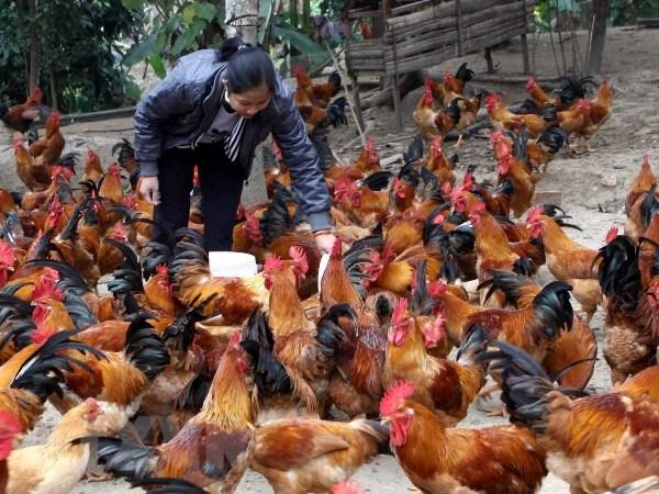Viet Nam chua ghi nhan truong hop gia cam nhiem virus H5N8 hinh anh 1